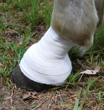 Bandage on hoof|Bandange on hoof